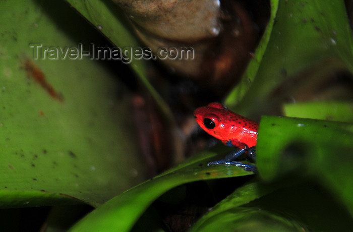 costa-rica87: Puerto Viejo de Sarapiquí, Heredia province, Costa Rica: Poison Arrow Frog - Dendrobates pumilio - colorful frog -  photo by M.Torres - (c) Travel-Images.com - Stock Photography agency - Image Bank