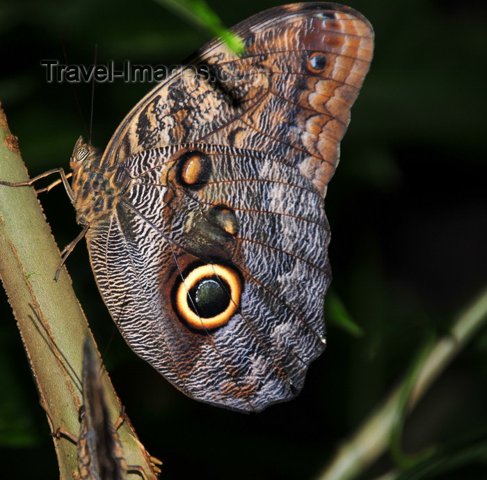 costa-rica90: Puerto Viejo de Sarapiquí, Heredia province, Costa Rica: owl butterfly - Caligo memnon - Nymphalidae family - photo by M.Torres - (c) Travel-Images.com - Stock Photography agency - Image Bank