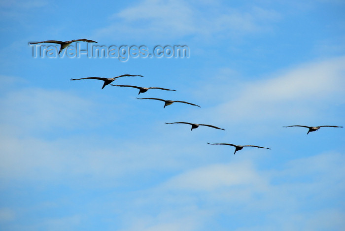 costa-rica98: Playa Hermosa, Puntarenas province, Costa Rica: pelicans - flight formation - photo by M.Torres - (c) Travel-Images.com - Stock Photography agency - Image Bank