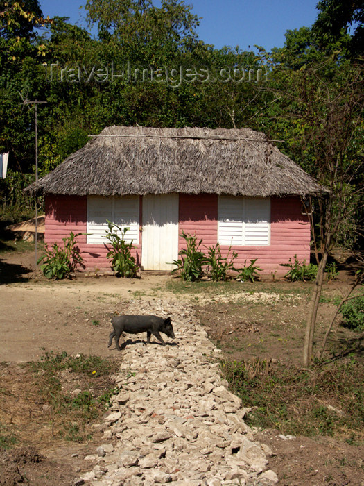 cuba108: Cuba - Holguín province - pink house and pig - photo by G.Friedman - (c) Travel-Images.com - Stock Photography agency - Image Bank