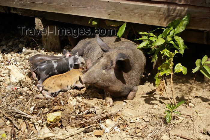 cuba133: Bahia de Mata, near Baracoa, Guantánamo province, Cuba: pig family - photo by A.Ferrari - (c) Travel-Images.com - Stock Photography agency - Image Bank