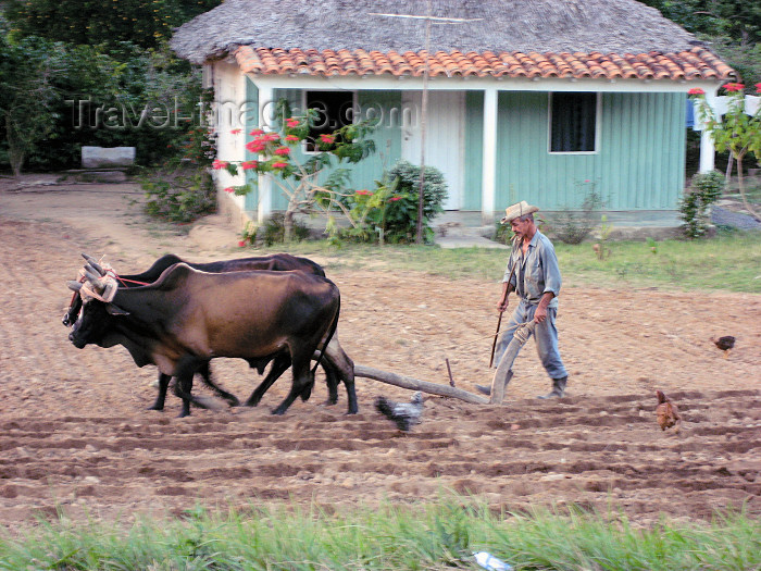 cuba21: Cuba - Vi&#241;ales - Pinar del Rio Province: farmer ploughing the land - agriculture - traditional methods - oxen - photo by L.Gewalli - (c) Travel-Images.com - Stock Photography agency - Image Bank