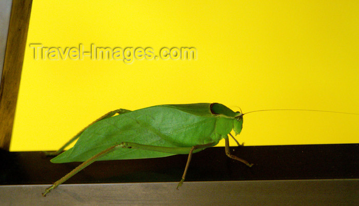 cuba42: Cuba - Guardalavaca - leaf bug - photo by G.Friedman - (c) Travel-Images.com - Stock Photography agency - Image Bank