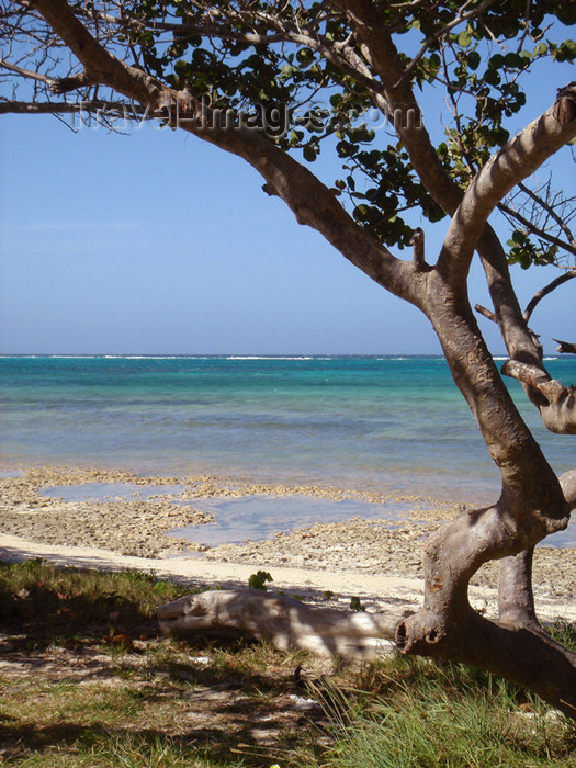 cuba52: Cuba - Guardalavaca - tree and water - photo by G.Friedman - (c) Travel-Images.com - Stock Photography agency - Image Bank