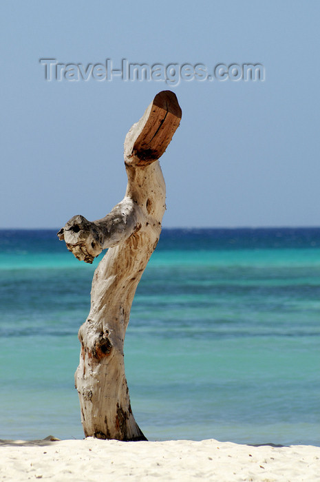 cuba53: Cuba - Guardalavaca - tree stump by the Beach - photo by G.Friedman - (c) Travel-Images.com - Stock Photography agency - Image Bank