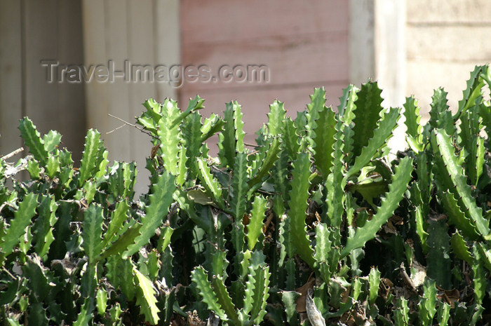 cuba92: Cuba - Holguín province - cactus fence - photo by G.Friedman - (c) Travel-Images.com - Stock Photography agency - Image Bank