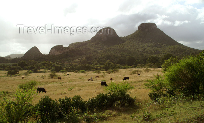 cuba94: Cuba - Holguín province - cows grazing  - photo by G.Friedman - (c) Travel-Images.com - Stock Photography agency - Image Bank