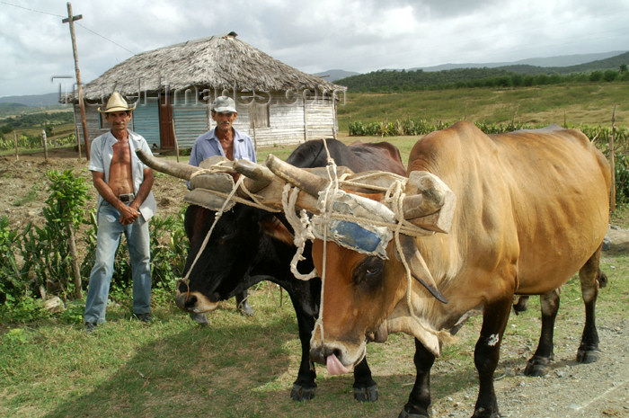 cuba96: Cuba - Holguín province - farmworkers with oxen - photo by G.Friedman - (c) Travel-Images.com - Stock Photography agency - Image Bank