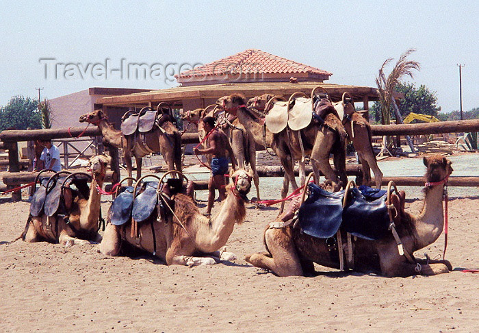 cyprus13: Cyprus - Perivolia - Larnaca district: Camels in a Caravan? - photo by Miguel Torres - (c) Travel-Images.com - Stock Photography agency - Image Bank