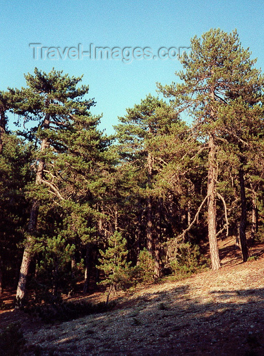 cyprus24: Cyprus - Troodos mountains - Limassol district: pines on the slopes - forest - photo by Miguel Torres - (c) Travel-Images.com - Stock Photography agency - Image Bank