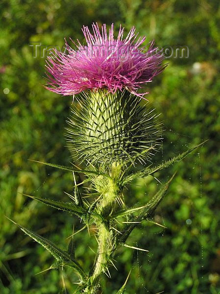 czech251: Czech Republic - artichoke thistle or cardoon - Cynara cardunculus - photo by J.Kaman - (c) Travel-Images.com - Stock Photography agency - Image Bank