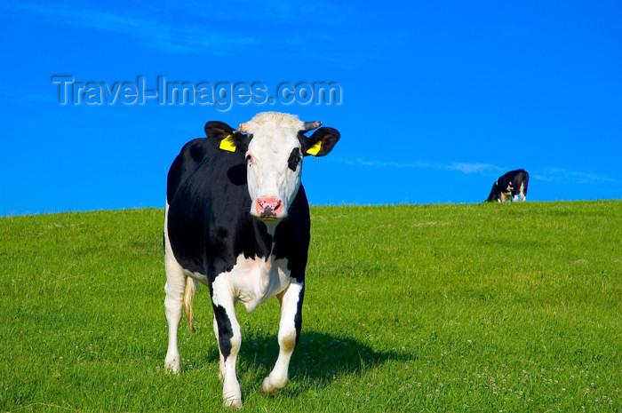 czech367: Czech Republic - Holesov, Moravia: farming fields - two cows - Zlin region - European Union (photo by P.Gustafson) - (c) Travel-Images.com - Stock Photography agency - Image Bank