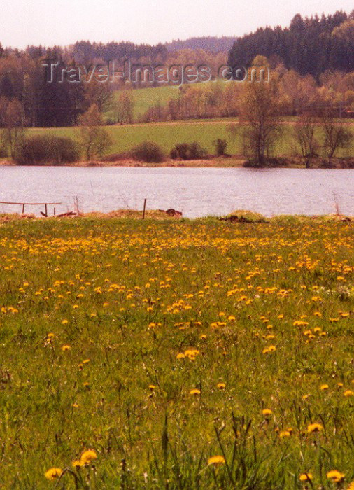 czech39: Czech Republic - Rybnik (Southern Bohemia - Jihoceský - Budejovický kraj): dandelion fields - Ceský Krumlov district, Southern Bohemia (photo by M.Torres) - (c) Travel-Images.com - Stock Photography agency - Image Bank
