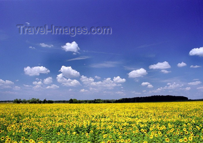 czech90: Czech Republic - Sunflower landscape - European agriculture - photo by J.Kaman - (c) Travel-Images.com - Stock Photography agency - Image Bank