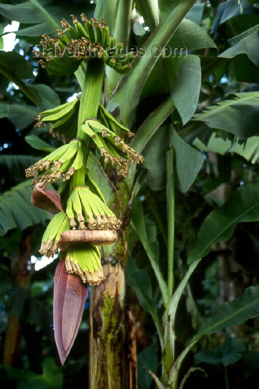 dominica1: Dominica: growing bananas - photo by M.Sturges - (c) Travel-Images.com - Stock Photography agency - Image Bank