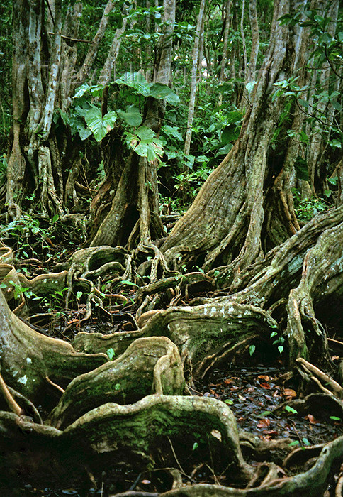 dominica10: Dominica - Picard river gorge: roots of banyan trees - strangler fig - ficus - Syndicate Nature Trail - photo by G.Frysinger - (c) Travel-Images.com - Stock Photography agency - Image Bank