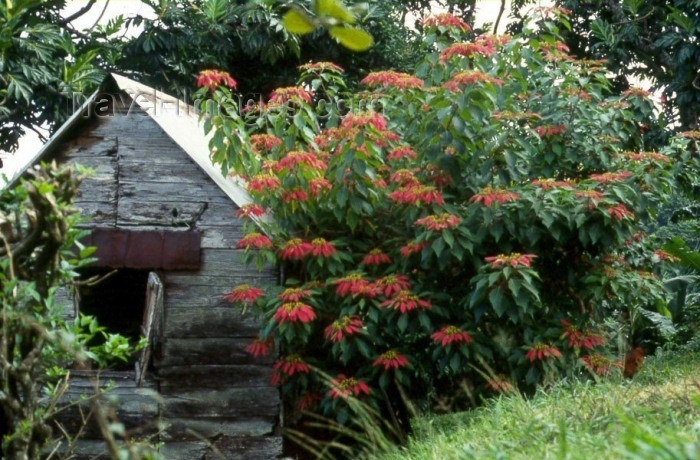 dominica4: Dominica: wild Poinsettia - photo by M.Sturges - (c) Travel-Images.com - Stock Photography agency - Image Bank