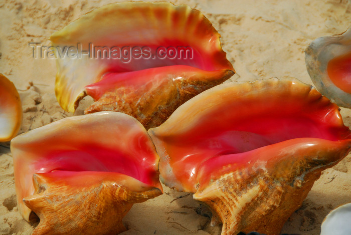 dominican153: Punta Cana, Dominican Republic: pink conch shells - Arena Gorda Beach - photo by M.Torres - (c) Travel-Images.com - Stock Photography agency - Image Bank