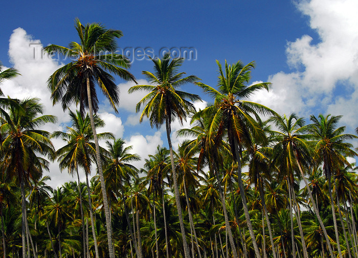 dominican154: Punta Cana, Dominican Republic: forest of coconut palms - Cocos nucifera - Arena Gorda Beach - photo by M.Torres - (c) Travel-Images.com - Stock Photography agency - Image Bank