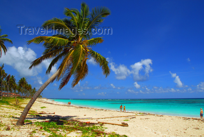 dominican155: Punta Cana, Dominican Republic: coconut palm leaning over the beach - Arena Gorda Beach - photo by M.Torres - (c) Travel-Images.com - Stock Photography agency - Image Bank