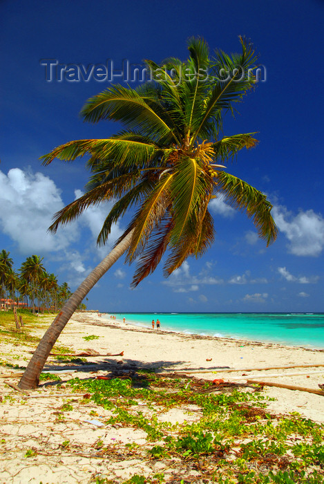 dominican156: Punta Cana, Dominican Republic: coconut palm leaning over a tranquil stretch of the beach - Arena Gorda Beach - photo by M.Torres - (c) Travel-Images.com - Stock Photography agency - Image Bank