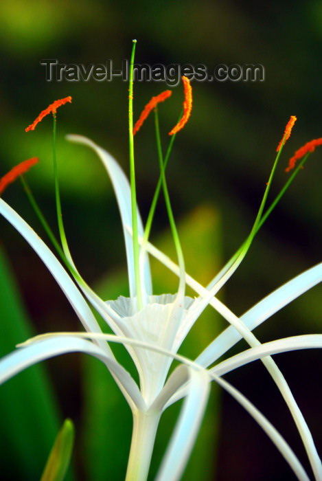 dominican165: Punta Cana, Dominican Republic: exotic flower - photo by M.Torres - (c) Travel-Images.com - Stock Photography agency - Image Bank