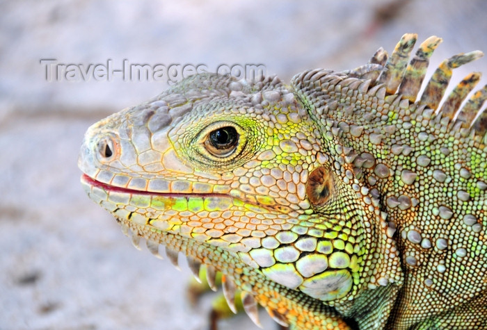 dominican323: Río San Juan, María Trinidad Sánchez province, Dominican republic: close-up of a Hispaniolan Ground Iguana - Ricord's Rock Iguana - Cyclura ricordi - photo by M.Torres - (c) Travel-Images.com - Stock Photography agency - Image Bank