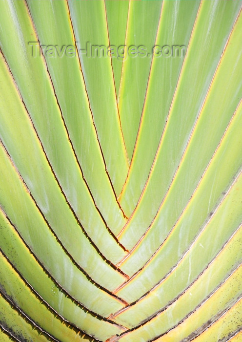 dominican324: Río San Juan, María Trinidad Sánchez province, Dominican republic: detail of a Travellers Palm - Ravenala madagascariensis - photo by M.Torres - (c) Travel-Images.com - Stock Photography agency - Image Bank