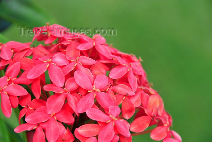 dominican330: Río San Juan, María Trinidad Sánchez province, Dominican republic: cluster of red flowers - photo by M.Torres - (c) Travel-Images.com - Stock Photography agency - Image Bank