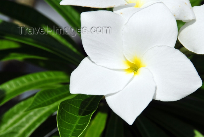 dominican332: Río San Juan, María Trinidad Sánchez province, Dominican republic: white plumeria flower - frangipani - photo by M.Torres - (c) Travel-Images.com - Stock Photography agency - Image Bank