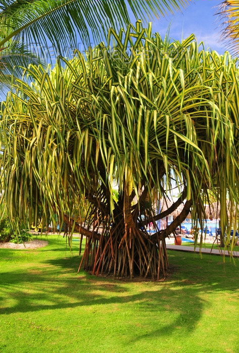 dominican336: Río San Juan, María Trinidad Sánchez province, Dominican republic: common screwpine - Pandanus utilis - photo by M.Torres - (c) Travel-Images.com - Stock Photography agency - Image Bank