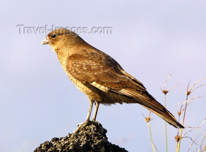 easter11: Easter Island - Chimango Caracaras - Milvago chimango - fauna - bird - photo by R.Eime - (c) Travel-Images.com - Stock Photography agency - Image Bank