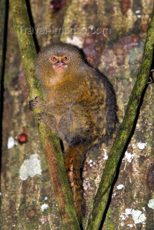 ecuador1: Ecuadorian Amazonia: pygmy marmoset monkey - Callithrix (Cebuella) pygmaea - rainforest - fauna of South America (photo by Rod Eime) - (c) Travel-Images.com - Stock Photography agency - Image Bank