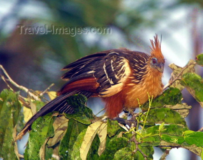 ecuador11: Ecuadorian Amazonia: the exotic Hoatzin bird - Opisthocomus hoazin (photo by Rod Eime) - (c) Travel-Images.com - Stock Photography agency - Image Bank