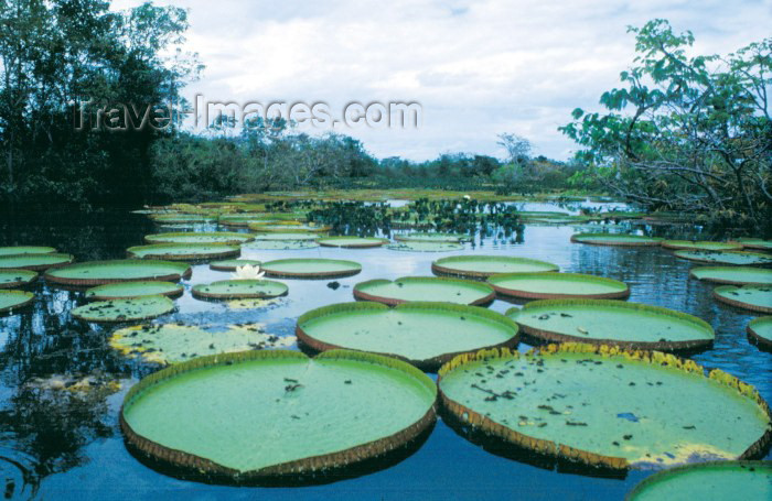 ecuador15: Ecuadorian Amazonia: giant water lilies - victoria regialily - nenufares (photo by Rod Eime) - (c) Travel-Images.com - Stock Photography agency - Image Bank