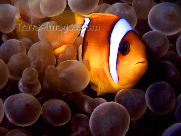 egypt-u2: Egypt - Red Sea - Marsa Alam area: clown fish hiding in anemone - nemo (underwater photography by K.Osborn) - (c) Travel-Images.com - Stock Photography agency - Image Bank