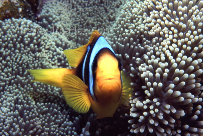 egypt-u3: Egypt - Red Sea - Marsa Alam area: clown fish (underwater photography by K.Osborn) - (c) Travel-Images.com - Stock Photography agency - Image Bank