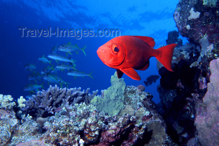 egypt-u5: Egypt - Red Sea - Moontail bullseye in the reef - glass eye - Priacanthus hamrur - underwater photo by  K.Osborn - (c) Travel-Images.com - Stock Photography agency - Image Bank