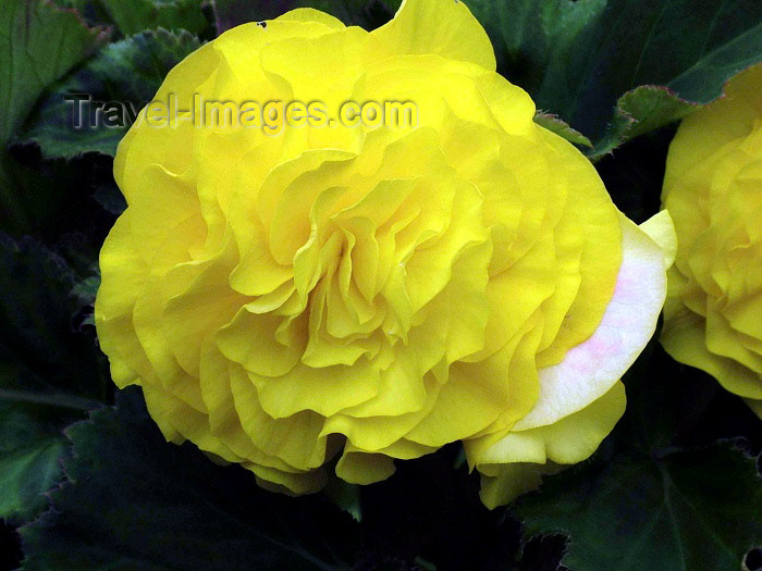 england181: Warrington, Cheshire, England, UK: yellow flower - photo by D.Jackson - (c) Travel-Images.com - Stock Photography agency - Image Bank