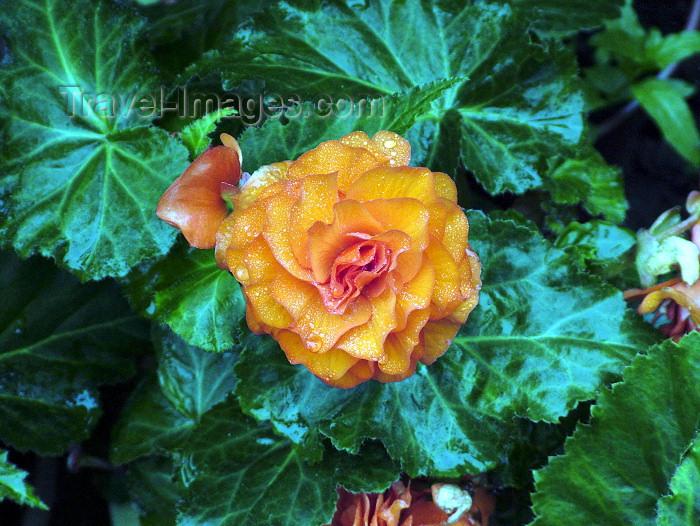 england182: Warrington, Cheshire, England, UK: flower - photo by D.Jackson - (c) Travel-Images.com - Stock Photography agency - Image Bank