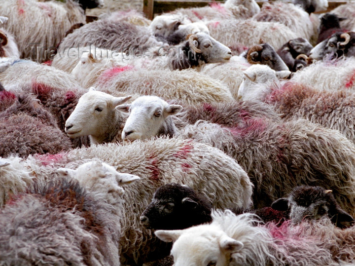 england286: England (UK) - Lake District (Cumbria): sheep (photo by T.Marshall) - (c) Travel-Images.com - Stock Photography agency - Image Bank