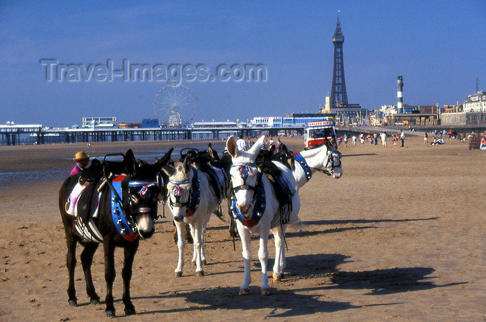 england361: Blackpool - Lancashire, England, UK: donkeys on the beach - photo by T.Brown - (c) Travel-Images.com - Stock Photography agency - Image Bank