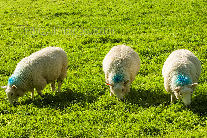england611: Castleton area, Peak District, Derbyshire, England: three sheep grazing - photo by I.Middleton - (c) Travel-Images.com - Stock Photography agency - Image Bank