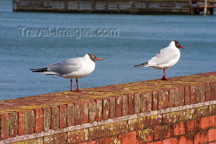 england672: Hythe, New Forest, Hampshire, South East England, UK: black headed seaguls by the Southampton Water - photo by I.Middleton - (c) Travel-Images.com - Stock Photography agency - Image Bank