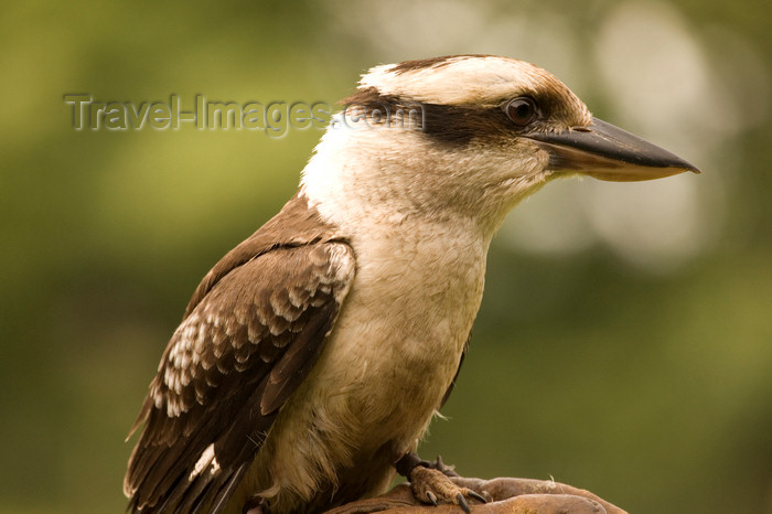 england724: Exmoor NP, Somerset, South West England, UK: Kookaburra in Exmoor Falconry - photo by I.Middleton - (c) Travel-Images.com - Stock Photography agency - Image Bank