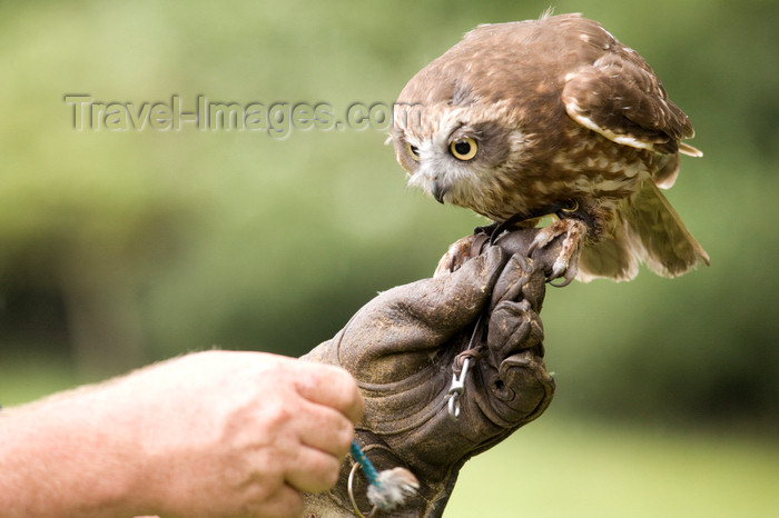 england726: Exmoor NP, Somerset, South West England, UK: owl on the trainer 's hand at Exmoor Falconry - photo by I.Middleton - (c) Travel-Images.com - Stock Photography agency - Image Bank