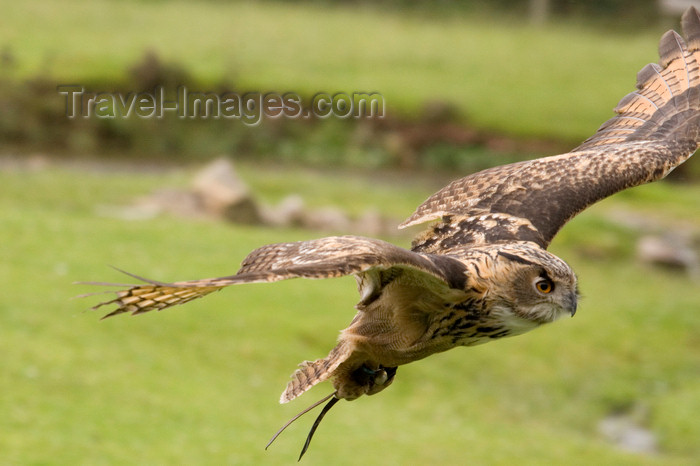 england727: Exmoor NP, Somerset, South West England, UK: great horned owl in flight at Exmoor Falconry - photo by I.Middleton - (c) Travel-Images.com - Stock Photography agency - Image Bank