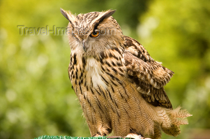 england730: Exmoor NP, Somerset, South West England, UK: resting great horned owl at Exmoor Falconry - photo by I.Middleton - (c) Travel-Images.com - Stock Photography agency - Image Bank