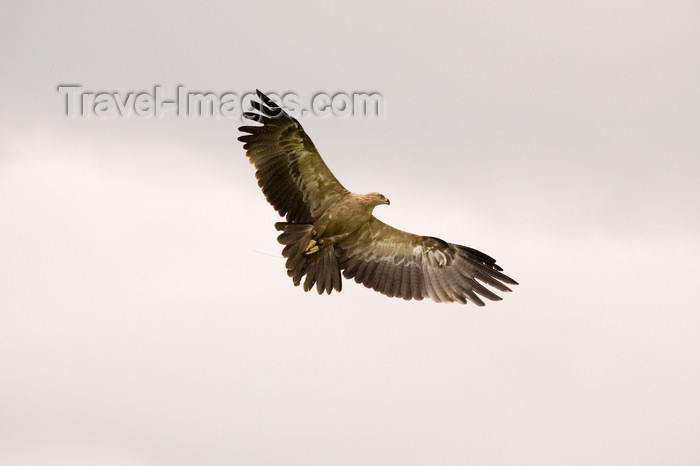 england731: Exmoor NP, Somerset, South West England, UK: hawk in flight at Exmoor Falconry - photo by I.Middleton - (c) Travel-Images.com - Stock Photography agency - Image Bank
