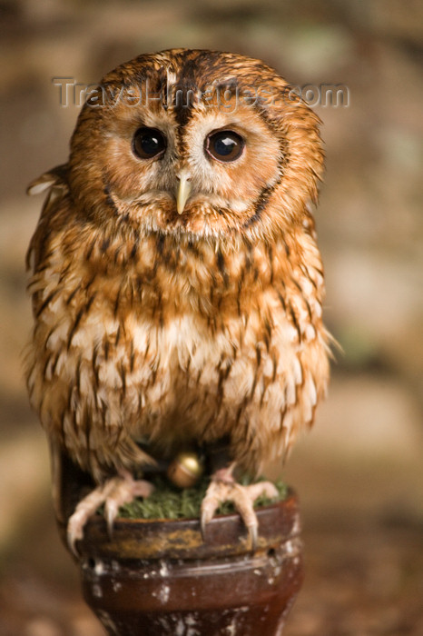england733: Exmoor NP, Somerset, South West England, UK:  young owl at Exmoor Falconry - photo by I.Middleton - (c) Travel-Images.com - Stock Photography agency - Image Bank